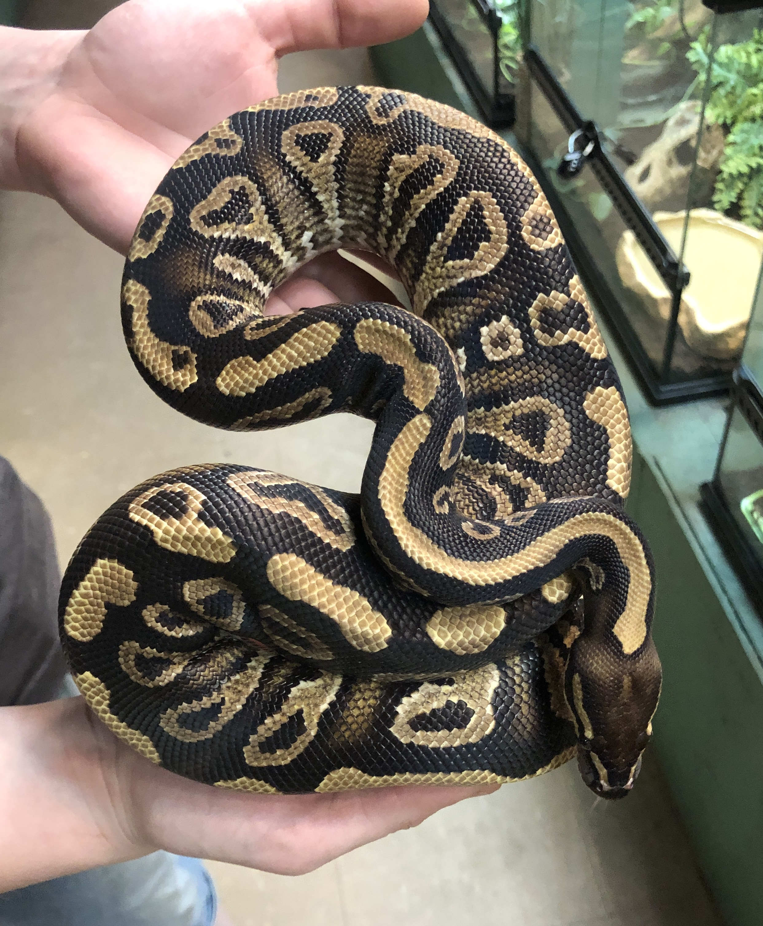 z (OUT OF STOCK) - MYSTIC YELLOW BELLY BALL PYTHON, 2017 FEMALE, 725 grams - Python regius