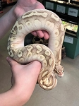 z OUT OF STOCK - ORANGE DREAM / PASTEL / BUTTER / FIRE / BALL PYTHON - Python regius, CB MALE