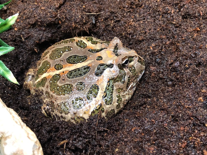 Z Out Of Stock Pacman Frog Cb Approx 3 Ceratophrys