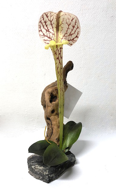 PITCHER PLANT with DRIFTWOOD