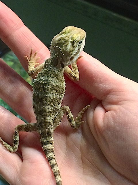 z OUT OF STOCK - RANKIN (BEARDED) DRAGON - Pogona henrylawsoni
