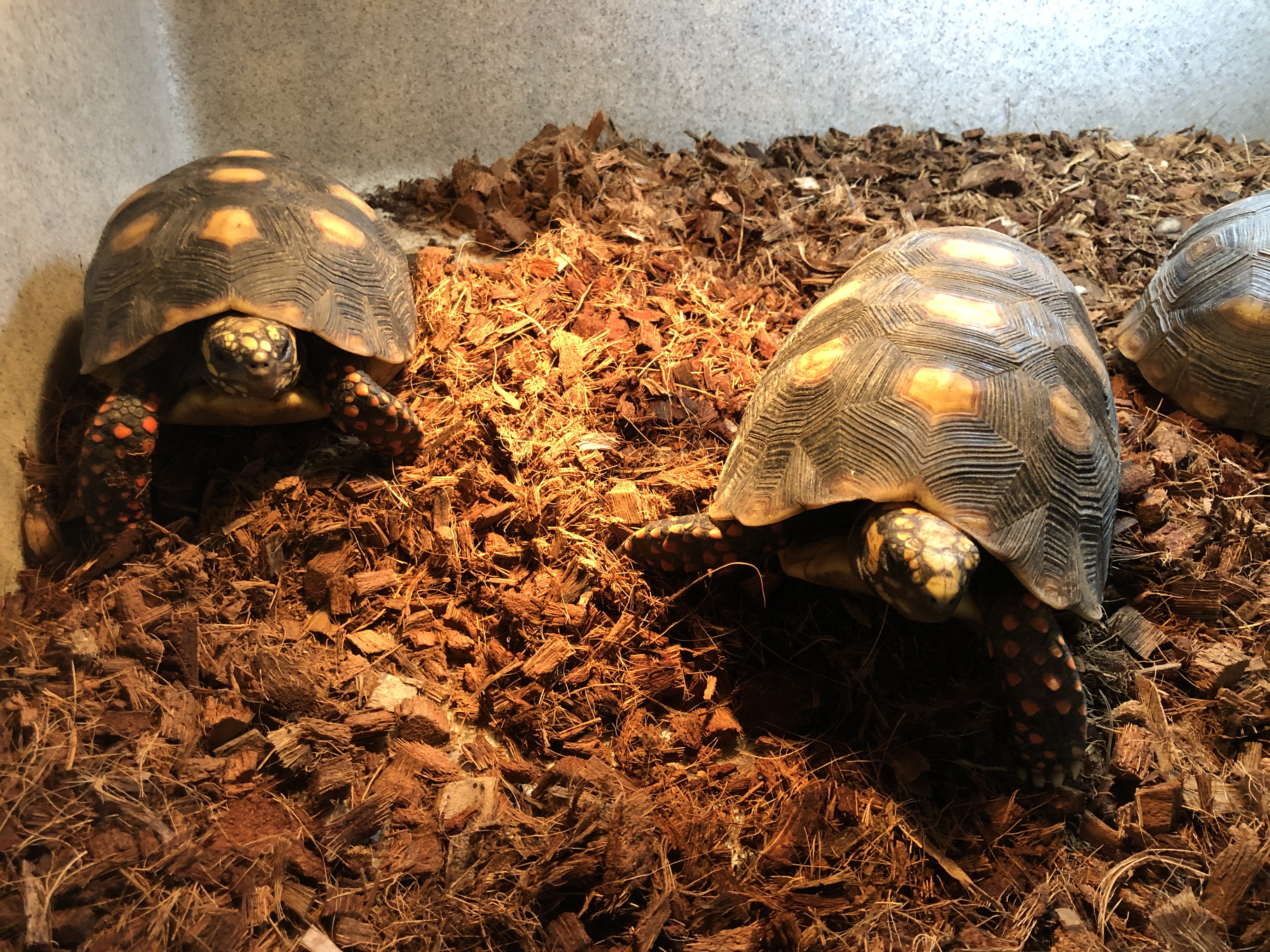 Z OUT OF STOCK - RED FOOT TORTOISE - CB 4-5