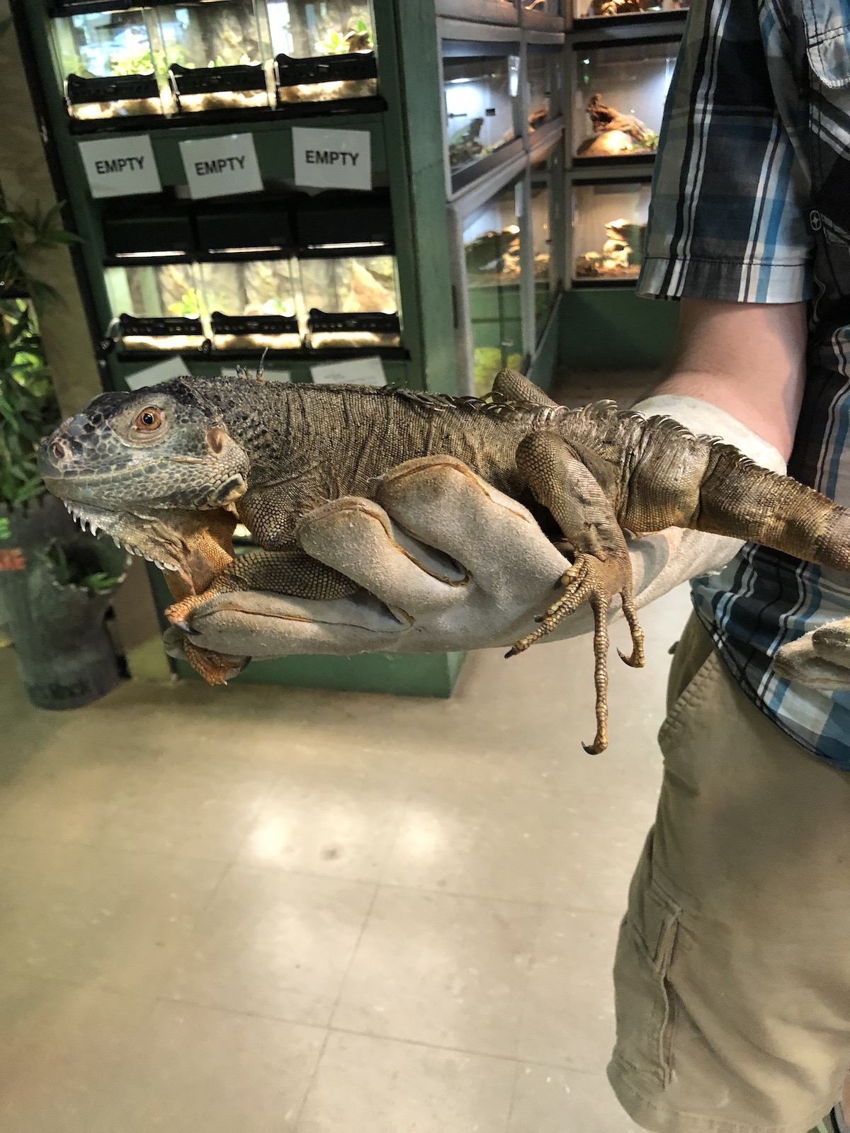 ALREADY ADOPTED - RESCUE - IGUANA