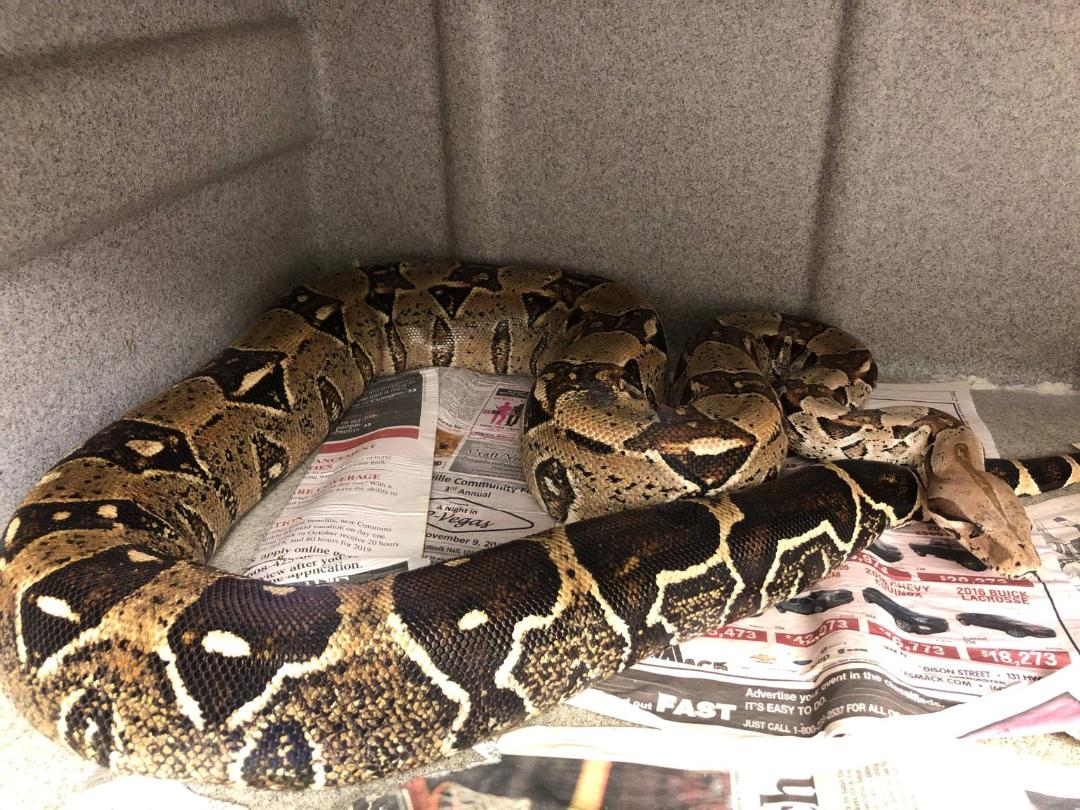 z ALREADY ADOPTED - BOA CONSTRICTOR - ADULT B4