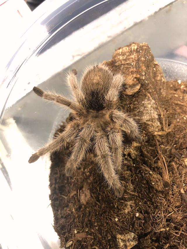 z OUT OF STOCK - Grammostola rosea or porteri - CB ROSE HAIR TARANTULA - sling