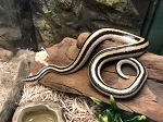 z OUT OF STOCK - MEXICAN ROSY BOA - San Ignacio - 2018 male (T) , Lichanura trivirgata