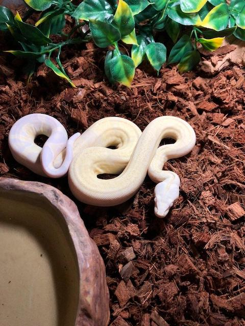 z OUT OF STOCK - BOA CONSTRICTOR - 2018 SNOW, CB MALE