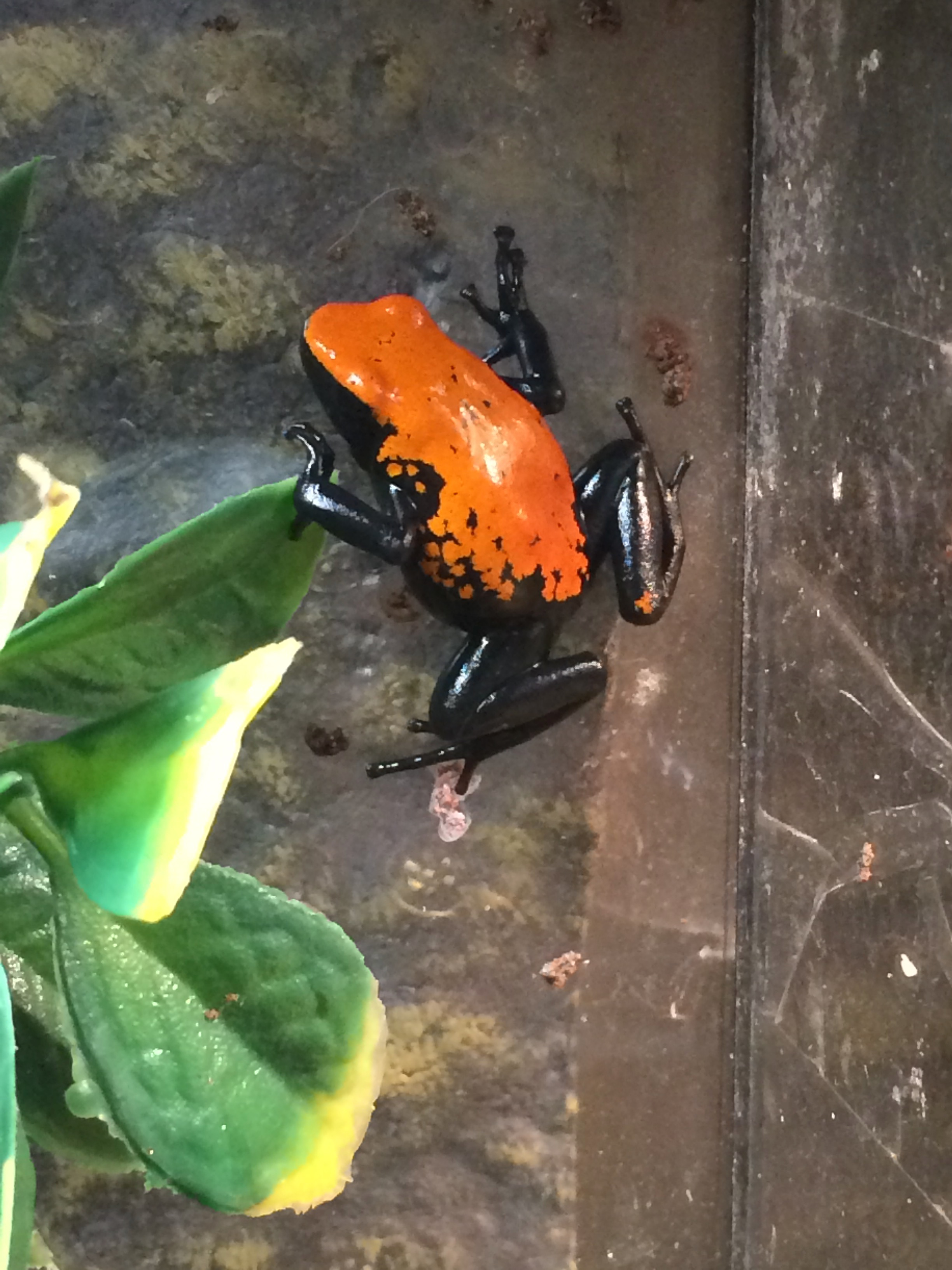z(OUT OF STOCK) - SPLASH BACKED POSION DART FROG (RED) CB - Adelphobates galactonotus