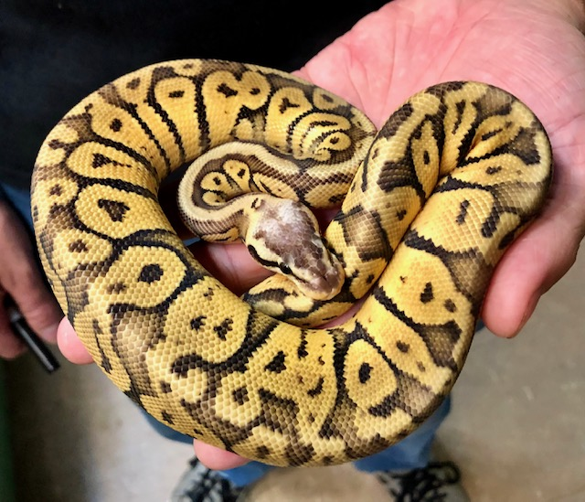 z OUT OF STOCK - SUPER PASTEL BALL PYTHON - 2019 MALE, Python regius