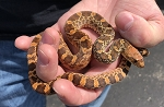z OUT OF STOCK - BULL SNAKE, KINGSVILLE RED - CB 2020 FEMALE #3, Pituophis catenifer sayi (Produced at Reptile Rapture)