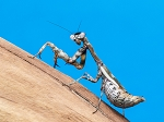 z OUT OF STOCK - Parasphendale agrionina - BUDWING MANTIS - babies, L2 or bigger