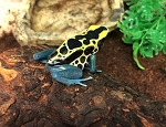 z OUT OF STOCK - PATRICIA DART FROGS, CB juvies - Dendrobates tinctorius