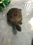 z ALREADY ADOPTED - AFRICAN SIDE NECK TURTLE 4