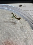 z OUT OF STOCK - AFRICAN MANTIS, size L3 - Sphodromantis sp.