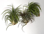 OUT OF STOCK - AIRPLANT - Tillandsia ionantha rubra