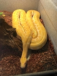 z OUT OF STOCK - ALBINO BURMESE PYTHON, 6 years old -