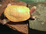 z OUT OF STOCK - ALBINO RED EARED SLIDER - Trachemys scripta elegans