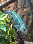 z OUT OF STOCK - AMBANJA PANTHER CHAMELEON - CB baby MALEs, Furcifer pardalis