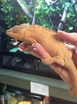 z OUT OF STOCK - AMBANJA PANTHER CHAMELEON, CB FEMALES