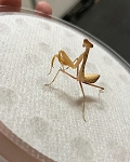 z OUT OF STOCK - AURORA MANTIS,  Sphodromantis aurea