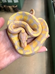 z OUT OF STOCK - BANANA BALL PYTHON - 2018 CB MALE, Python regius (produced by Reptile Rapture) (t)