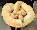 z OUT OF STOCK - BANANA BEE BALL PYTHON - 2018 FEMALE, CB