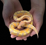 z OUT OF STOCK - BANANA YELLOWBELLY BALL PYTHON, CB 2019 MALE - Python regius
