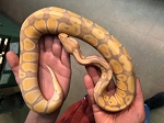 z OUT OF STOCK - BANANA YELLOWBELLY BALL PYTHON, CB 2020 MALE - Python regius