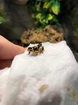 z OUT OF STOCK - BANDED THUMBNAIL DART FROG CB - R. imitator