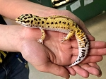 z OUT OF STOCK- LEOPARD GECKO  - BANDIT STRIPE CARROT TAIL, CB FEMALE (Eublepharis macularius)