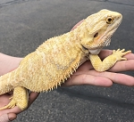 z (OUT OF STOCK) - ADULT BEARDED DRAGON -