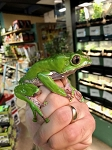 z OUT OF STOCK - Bi color - WC WAXY MONKEY TREE FROG - Phyllomedusa bicolor