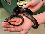z OUT OF STOCK - BLACK PINE SNAKE, CB MALE #2 - Pituophis melanoleucus (ONLY SHIPPING WITHIN WI or IN STORE PICK UP)