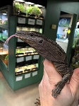 z OUT OF STOCK - BLACK ROUGH NECK MONITOR, CH baby - Varanus rudicollis