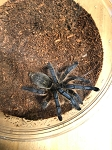 z OUT OF STOCK - Harpactira pulchripes - GOLDEN BLUE LEG BABOON TARANTULA, 3-4