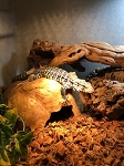 z OUT OF STOCK - BLUE TEGU - Tupinambis merianae, CB babies