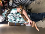 ALREADY ADOPTED - BOA CONSTRICTOR -