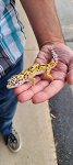 z (OUT OF STOCK) - LEOPARD GECKO - BOLD JUNGLE CARROT TAIL, CB (Eublepharis macularius)