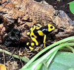 BUMBLE BEE DART FROGS -
