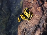 z(OUT OF STOCK) - CB BUMBLE BEE DART FROGS - Dendrobates leucomelas