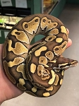 z OUT OF STOCK - BUTTER LEOPARD BALL PYTHON - CB Python regius