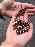 z (OUT OF STOCK) - CALIFORNIA KING, CB DESERT male - Lampropeltis californiae