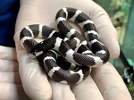 z OUT OF STOCK - CALIFORNIA KING, CB DESERT 2019 male - Lampropeltis californiae