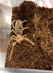 CAMEL SPIDER - SMALL