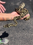 z (OUT OF STOCK) - CARPET PYTHON - MALE, Morelia spilotes