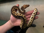 z OUT OF STOCK - CLOWN BALL PYTHON - Python regius , 2020 FEMALE