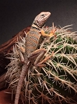 z OUT OF STOCK - COLLARED LIZARD -  Crotaphytus collaris