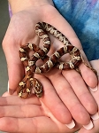 z OUT OF STOCK - CORN SNAKE, NORMAL - CB MALE - Elaphe [Pantherophis] guttata
