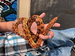 CORN SNAKE, ADULT CB FEMALE - Elaphe [Pantherophis] guttata