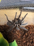 z OUT OF STOCK - Phormictopus auratus - CUBAN BRONZE TARANTULA, 2